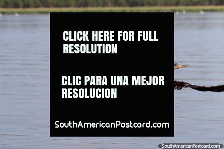 Black bird takes flight, Lake Yarinacocha, Pucallpa. (720x480px). Peru, South America.