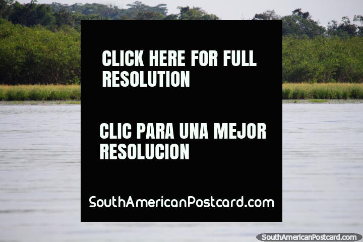 Um par de delfins cinzas que fazem o seu caminho em Lago Yarinacocha, Pucallpa. (720x480px). Peru, América do Sul.