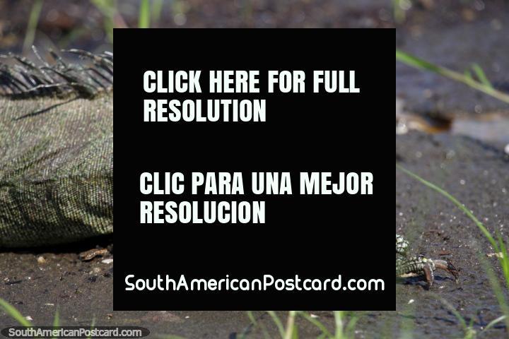 Gran iguana en la arena en el Lago Yarinacocha, una especie de prehistoria, Pucallpa. (720x480px). Perú, Sudamerica.