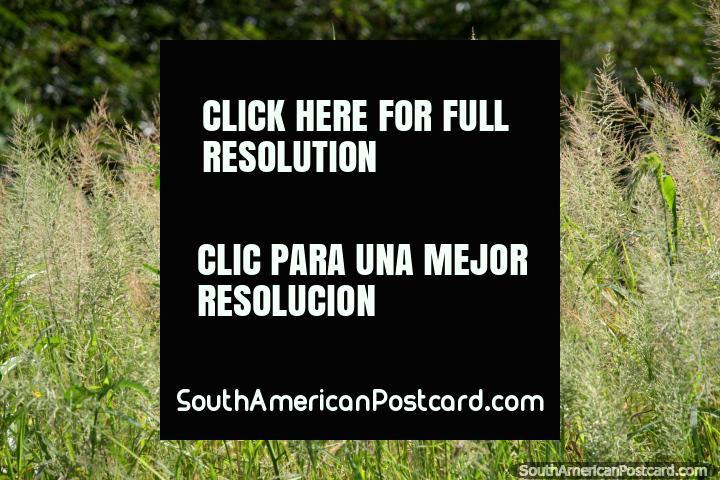 Grassy greenness beside Lake Yarinacocha in Pucallpa. (720x480px). Peru, South America.