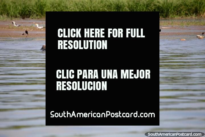 Pájaro blanco y negro con pico largo y delgado busca peces en el Lago Yarinacocha en Pucallpa. (720x480px). Perú, Sudamerica.