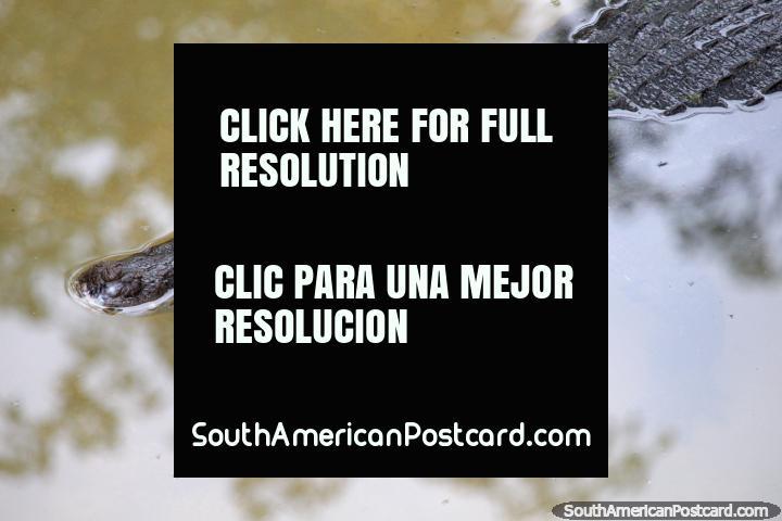 Un cocodrilo se relaja en el agua fría en el Parque Natural de Pucallpa. (720x480px). Perú, Sudamerica.