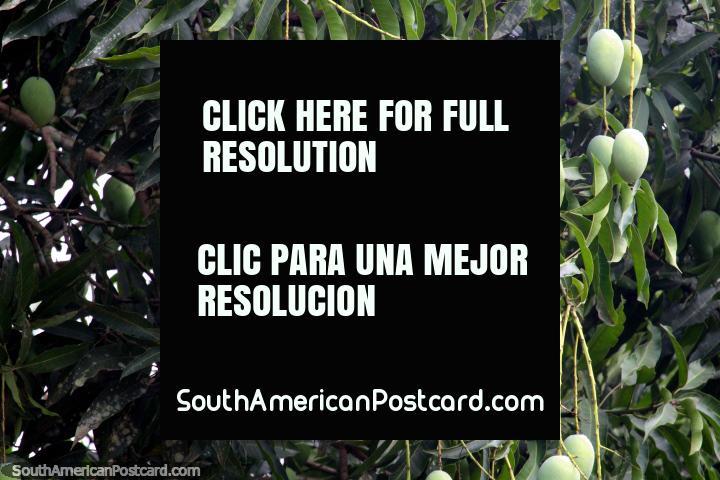 Los mangos verdes cuelgan del árbol en el Parque Natural de Pucallpa. (720x480px). Perú, Sudamerica.