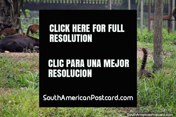 Un santuario para animales en el Parque Natural, estos animales son libres, Pucallpa. (720x480px). Perú, Sudamerica.