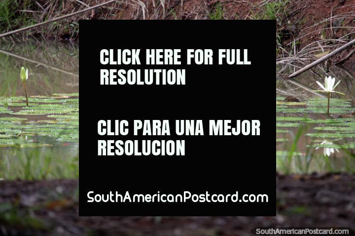 Flores frondosas brotan del pantano en el Parque Natural de Pucallpa. (720x480px). Perú, Sudamerica.