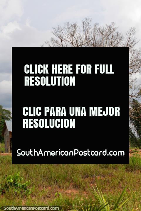 O pequeno abrigo ou a casa sentam-se junto de uma grande árvore no Amazônia entre Pucallpa e Aguaytia. (480x720px). Peru, América do Sul.