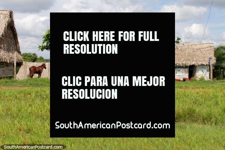 Horse in a green paddock, thatched roof houses and small tree, the Amazon, between Pucallpa and Tingo Maria. (720x480px). Peru, South America.