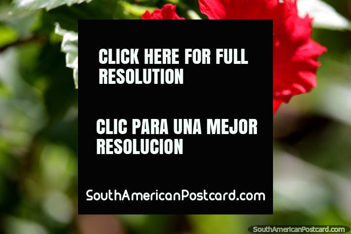 Red petals, orange sprinkle, flowers in the park, Tingo Maria. (720x480px). Peru, South America.