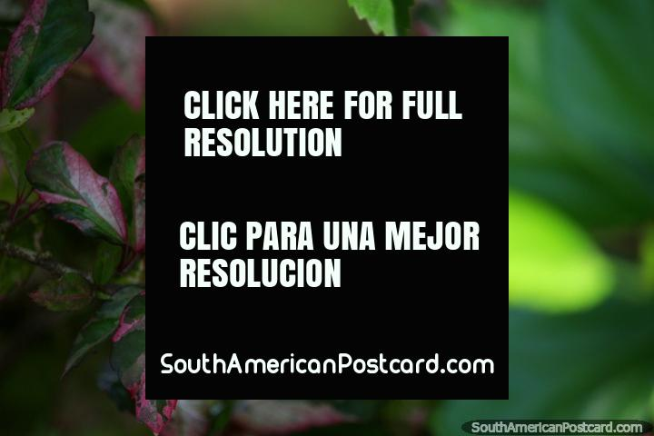 Beautiful pink leaves, blurry green background, flora at the central park, Tingo Maria. (720x480px). Peru, South America.