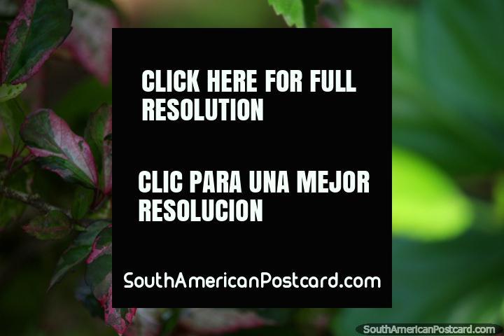 Hermosas hojas de color rosa, fondo verde borrosa, la flora en el parque central, Tingo María. (720x480px). Perú, Sudamerica.