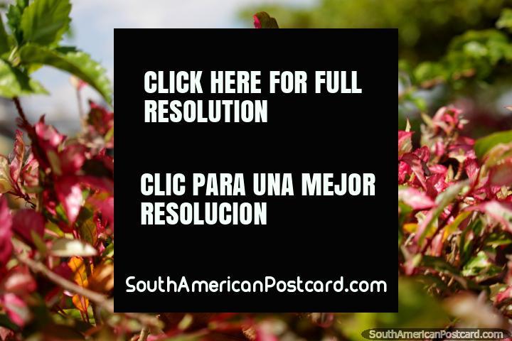 Hojas verdes y rosa rizada, flores dl parque y la plaza en Tingo María. (720x480px). Perú, Sudamerica.