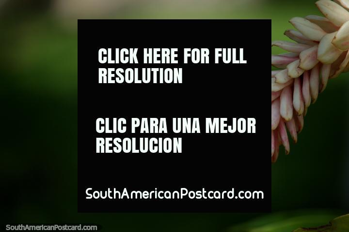 He encontrado mejores plantas y flores alrededor de la plaza en Tingo María que yo en el parque nacional! (720x480px). Perú, Sudamerica.