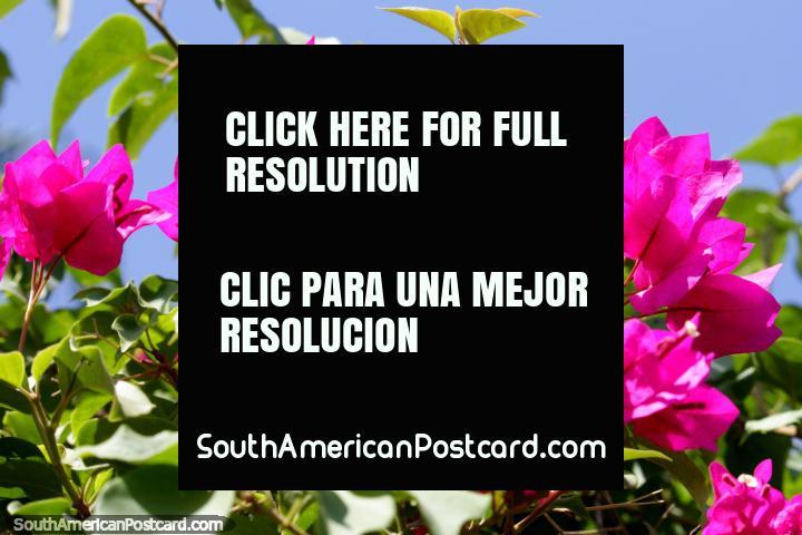 Hojas de color rosa semi-transparentes brillan bajo el sol, parque de Tingo María. (720x480px). Perú, Sudamerica.