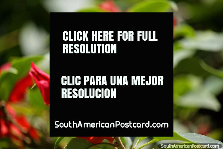 Folhas vermelhas como couro ondulado, flores no parque em Tingo Maria. (720x480px). Peru, América do Sul.