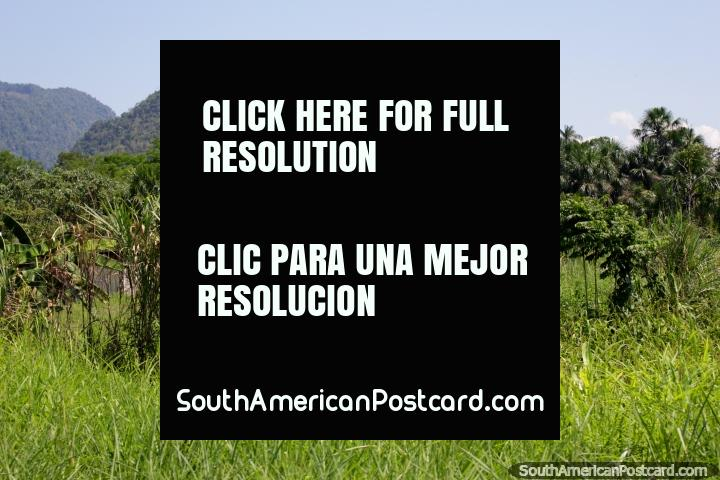 Palmeras y colinas verdes, bonitas vistas al lado de la carretera a Tocache de Tingo María. (720x480px). Perú, Sudamerica.
