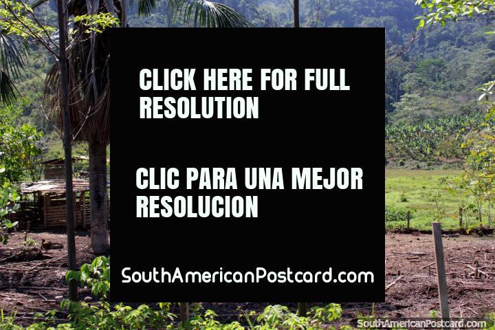 Terra de agricultura e gado, uma pequena cabana de madeira, Tingo a Tocache. (720x480px). Peru, América do Sul.