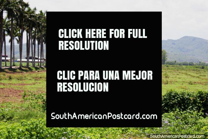 Las palmeras se alinean en cada lado de un camino o calzada, muy prestigioso, al sur de Tarapoto. (720x480px). Perú, Sudamerica.