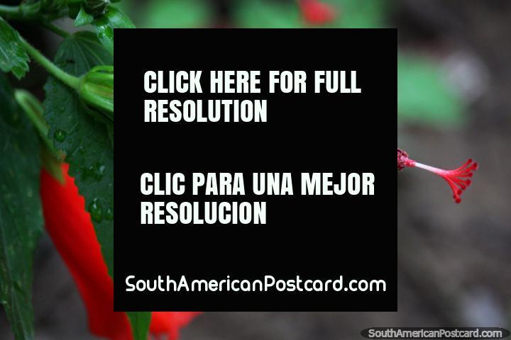 A red tulip flower about to blossom at Plazuela Suchiche in Tarapoto. (720x480px). Peru, South America.