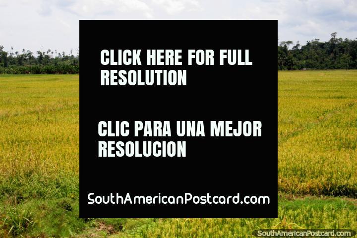 Uma casa de madeira está de outro lado deste enorme campo verde, ao sul de Yurimaguas. (720x480px). Peru, América do Sul.