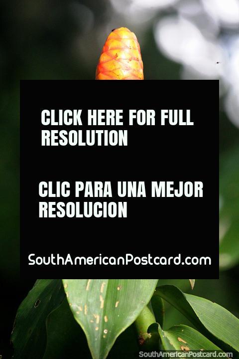 Una planta naranja y roja en forma de mazorca de maíz en la selva Amazónica cerca de Iquitos. (480x720px). Perú, Sudamerica.