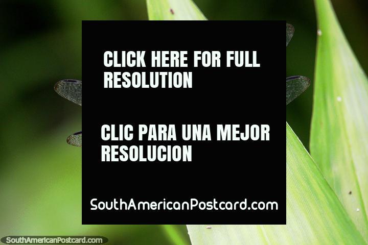 Una libélula posiblemente, tiene 4 alas y es negra, la selva Amazónica cerca de Iquitos. (720x480px). Perú, Sudamerica.