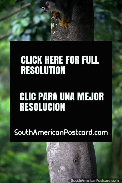 Un mono de la ardilla mira hacia fuera detrás de un árbol, él tiene una pequeña cabeza redonda, la Amazonas, Iquitos. (480x720px). Perú, Sudamerica.