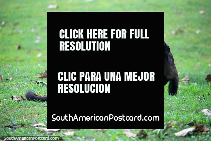 2 monos juegan en la hierba en un santuario de animales en la selva cerca de Iquitos. (720x480px). Perú, Sudamerica.