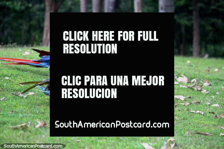 3 araras têm uma corrida na grama em um santuário dos animais que visitei no Amazônia perto de Iquitos. (720x480px). Peru, América do Sul.
