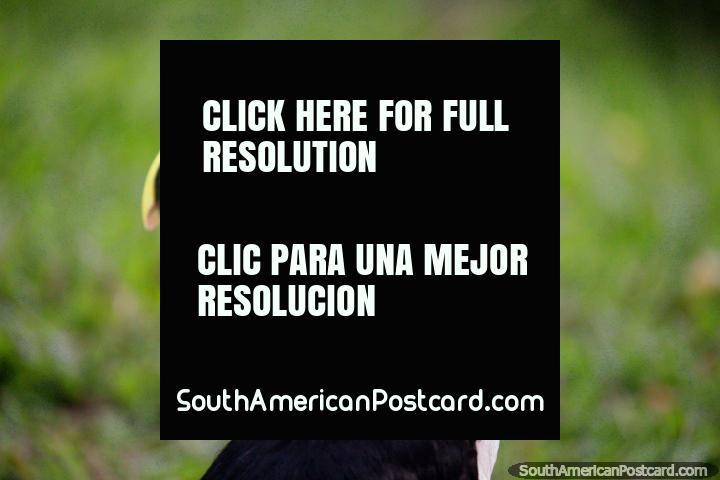 Un tucán con un largo pico amarillo, se ve un poco solo, Iquitos. (720x480px). Perú, Sudamerica.