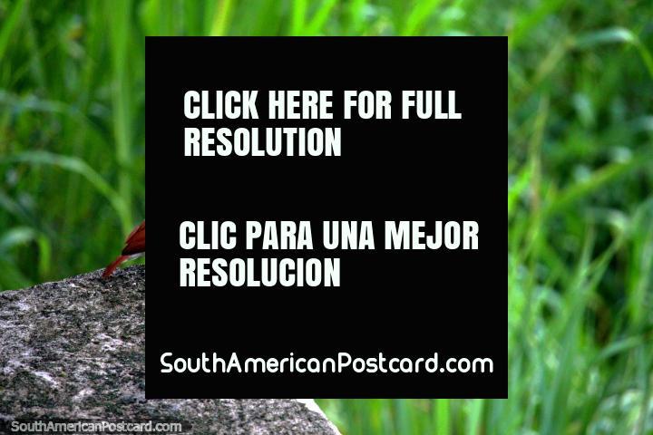 El pájaro temprano coge el gusano, como dice el refrán, pájaro marrón en Iquitos. (720x480px). Perú, Sudamerica.