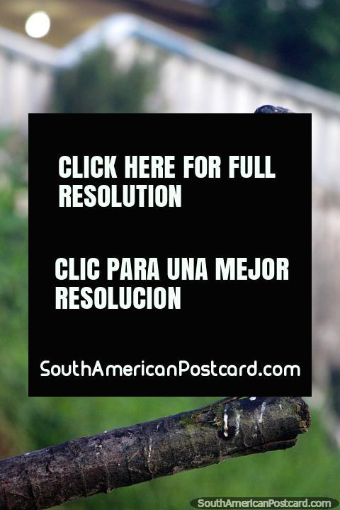 O pássaro que pula é engraçado para olhar, boing, boing, de cima para baixo no log, Iquitos. (480x720px). Peru, América do Sul.