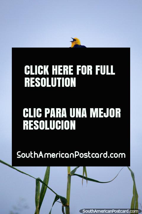 O pássaro preto com a cabeça amarela canta na voz cheia de manhã em Iquitos. (480x720px). Peru, América do Sul.