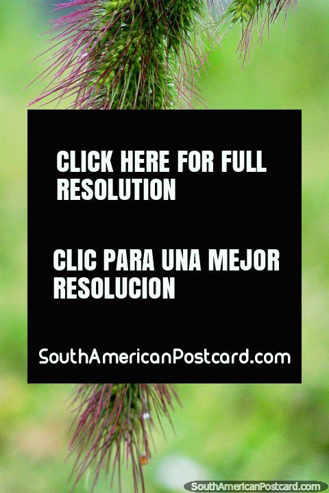 Fábrica fofa e espinhuda, natureza purpúrea e verde, que gosta em Iquitos. (480x720px). Peru, América do Sul.
