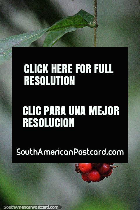 Manojo de bayas rojas en el bosque de la Reserva Nacional Tambopata en Puerto Maldonado. (480x720px). Perú, Sudamerica.