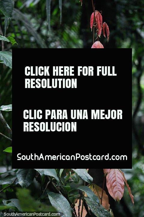 Las hojas de color rosa sedoso se ven hermosas, la caminata por el bosque en la Reserva Nacional Tambopata en Puerto Maldonado. (480x720px). Perú, Sudamerica.