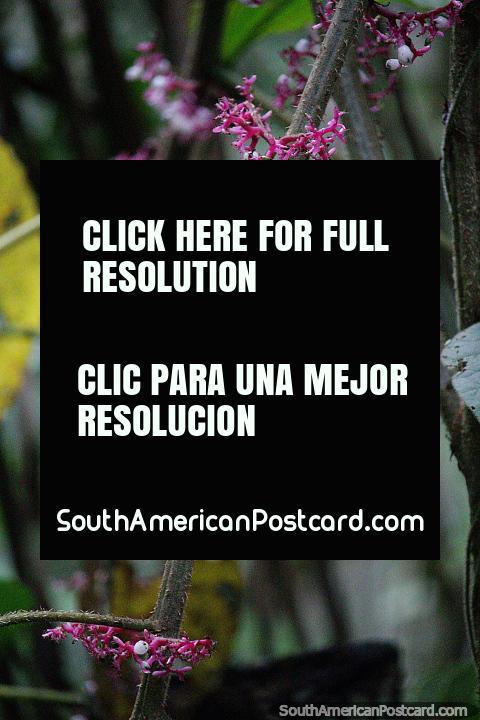 Planta con vetas rosadas en el bosque de la Reserva Nacional Tambopata en Puerto Maldonado. (480x720px). Perú, Sudamerica.