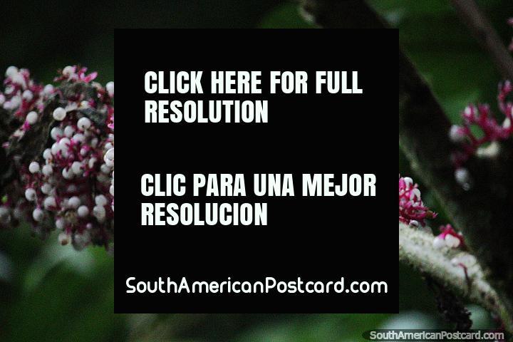 Pequeñas vainas de flores blancas y tallos rosados, la naturaleza en la Reserva Nacional Tambopata en Puerto Maldonado. (720x480px). Perú, Sudamerica.