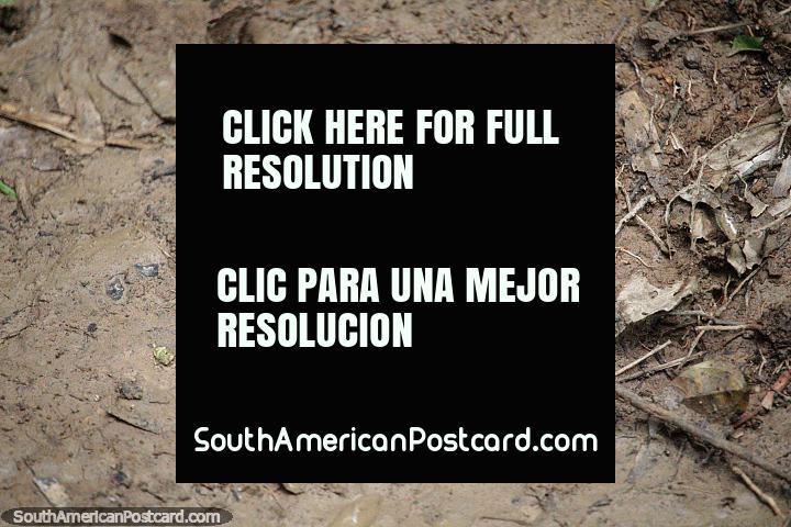 Tarántula macho muerta luego de ser asesinada por la hembra después de aparearse, el bosque en Puerto Maldonado. (720x480px). Perú, Sudamerica.