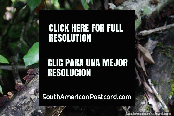 Los hongos negros crecen en un tronco en el bosque en la Reserva Nacional Tambopata en Puerto Maldonado. (720x480px). Perú, Sudamerica.
