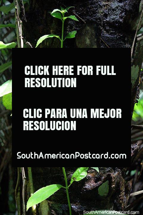 Folhas verdes ao sol, gostando de natureza em Reserva Nacional Tambopata em Porto Maldonado. (480x720px). Peru, América do Sul.