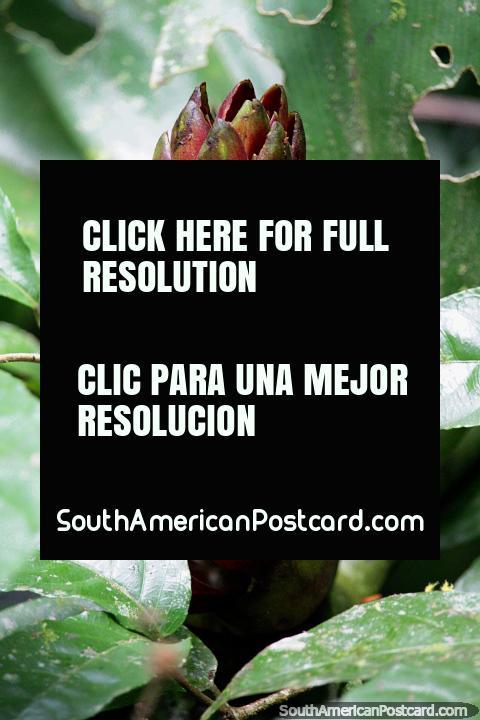 La vaina de flores grandes pronto florecerá en el bosque en la Reserva Nacional Tambopata en Puerto Maldonado. (480x720px). Perú, Sudamerica.