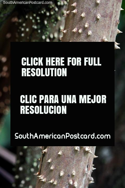 Pequeñas espigas protegen el árbol que camina en el bosque en la Reserva Nacional Tambopata en Puerto Maldonado. (480x720px). Perú, Sudamerica.