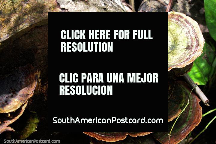Brown and green fungi grows from rotting wood at Tambopata National Reserve in Puerto Maldonado. (720x480px). Peru, South America.