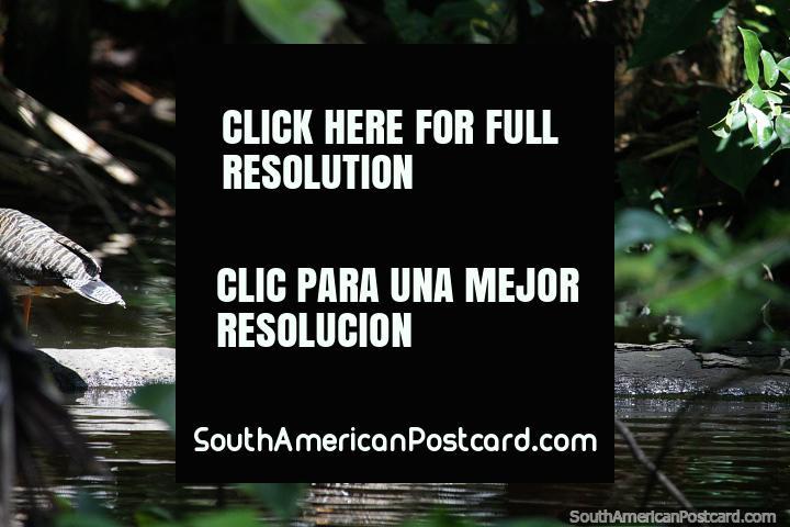 Pássaro em um log, a nossa primeira descoberta de vida selvagem em Reserva Nacional Tambopata em Porto Maldonado. (720x480px). Peru, América do Sul.