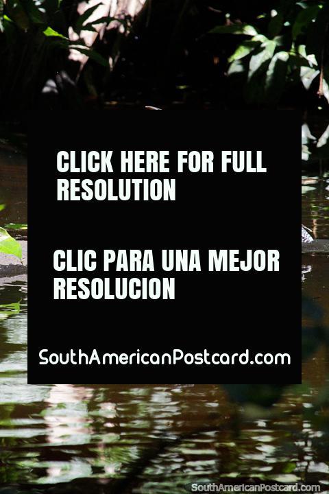 O pássaro do Lago de Sandoval estende as suas asas, vida selvagem na Reserva Nacional Tambopata em Porto Maldonado. (480x720px). Peru, América do Sul.