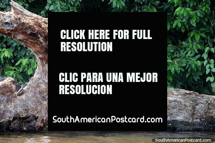 Lontra gigantesca, tivemos sorte de vê-lo no Lago de Sandoval, Reserva Nacional Tambopata em Porto Maldonado. (720x480px). Peru, América do Sul.