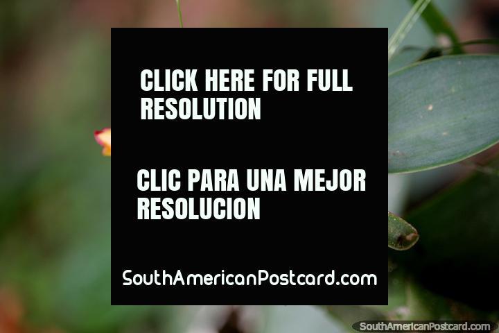 Flor vermelha exótica com uma pequena formiga, a flora em Reserva Nacional Tambopata em Porto Maldonado. (720x480px). Peru, América do Sul.