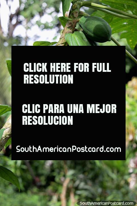 Melões verdes que crescem em uma árvore no clima tropical de Reserva Nacional Tambopata em Porto Maldonado. (480x720px). Peru, América do Sul.
