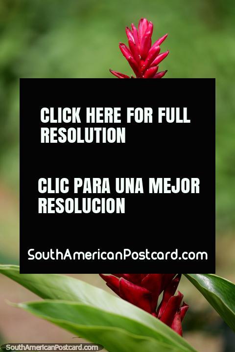 Flor roja exótica en jardines en la Casa Eco Koshiri junto al Lago Sandoval, Reserva Nacional Tambopata en Puerto Maldonado. (480x720px). Perú, Sudamerica.
