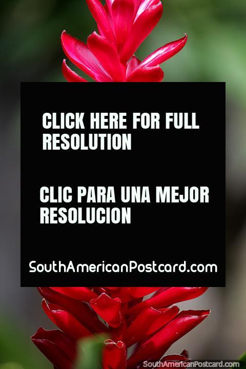 Puerto Maldonado es un gran lugar para ver flores y plantas exóticas y la vida silvestre. (480x720px). Perú, Sudamerica.